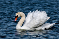Mute Swans and other Waterfowl of Lake Morton in Lakeland Florida