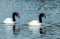 Pair of Black-necked Swans