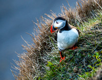 Icelanding Puffin_4136